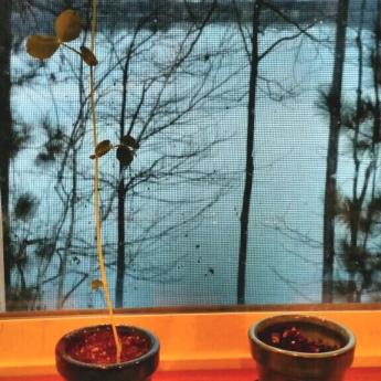 Annabelle's pea plant